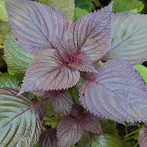 Beautytalk-Garten Samen Essbare Gemüsepurpur Blatt Perillasamen Bonsai Pflanze Gemüsesamen mehrjährig winterhart für Hausgarten Balkon