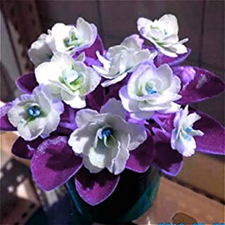 50pcs Mini Bonsai Violet Seeds Rare African Flower For Garden Potted Perennial Herb Indoor Plants Flowers Matthiola Incana Seed Light Green