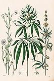 Cannabis Plant Marijuana Illustration 1853...
