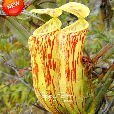 De nouvelles graines fraîches Graines Nepenthes Nepenthes Carnivorous Graines de fleurs purifient l'air Attraper des insectes mélangés pour le jardin à la maison 100 graines Violet