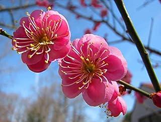 Albaricoque japonés, (chino ciruela), Prunus Mume, 3