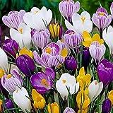 20 Jumbo Crocus Mixture Bulbs- Fall planting!