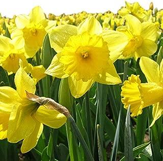 bulk daffodil bulbs cheap