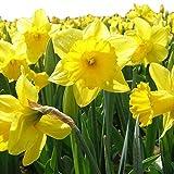 Dutch Master Daffodil 50 Bulbs -Deer & Rodent Resistant - 14/16 cm Bulbs …