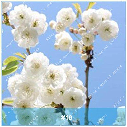 ZLKING 20pcs/pack japonais Sakura Fleurs Bonsaï Graines Cerasus yedoensis fleurs de cerisier facile de cultiver des plantes de fleurs exotiques 10