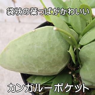 袋状の葉っぱが印象的 カンガルーポケット(ディスキディア・つる性・大株・ポット苗)