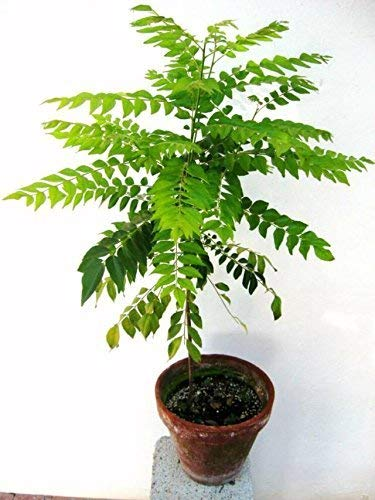 50 Pcs Curry Leaves Tree Bonsai Herb Plant For Home Garden Indoor Plants