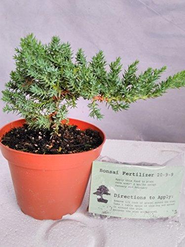 Japanese Juniper Bonsai Starter Tree - 4' pot - Juniperus procumbens 'Nana'+Bonsai Fertilizer Slow Release By-jmbamboo