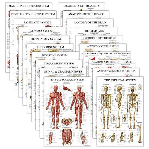 Muscular System /& Spinal Nerves Anatomical Poster Set 2 Poster Set Muscle//Spine Muscle and Spinal Nerves Anatomy Chart Set Laminated