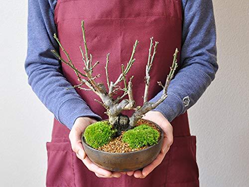 盆栽妙紅白梅大樹50171A505
