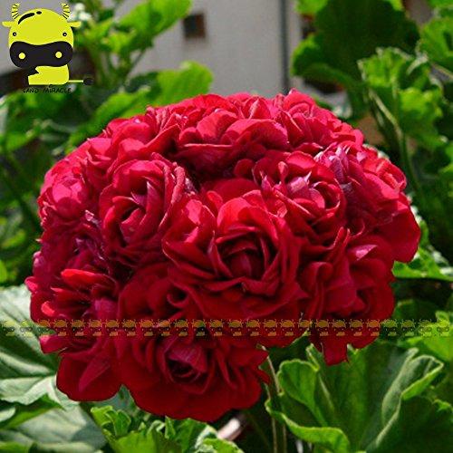 10Samen/Pack, Giant rot Appleblossom Rosebud Pelargonium Geranium Blume Samen DIY Home Garten Pflanzen