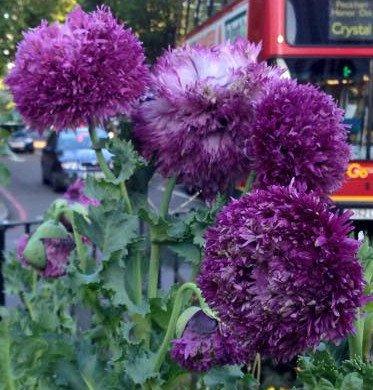 Peony Purple Poppy Papaver Somniferum 0.5g Approx 1250 Seeds