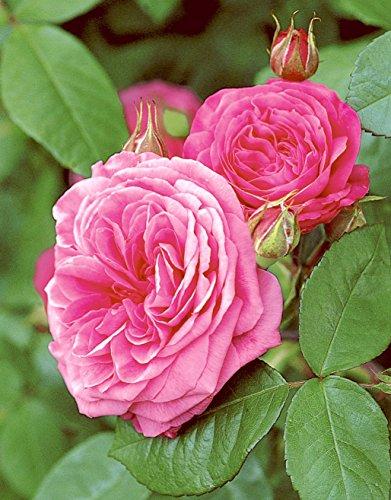 'Gertrude Jekyll' -R-, Englische Stamm-Rose (David Austin) im Container