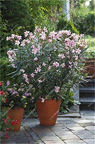 Bonsai Nerium Oleander Seed (Nerium indicum Mühle) im Freien mit Charme Blumen-Baum blühende Pflanzen Garten-Dekoration 120 PC/Los 3