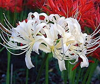 White Spider Lily Bulbs Lycoris Bulbs(10 Bulbs) Hot Sale Impressive Fragrant Flowers Bonsai Excellent Cut Flowers