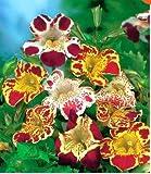 Beautytalk-Garten Gauklerblume (Mimulus hybridus) Samen Blumensamen Mischung bienenfreundliche Wildblumensamen Bonsai Samen winterhart mehrjährig für Balkon/Terrasse/Garten
