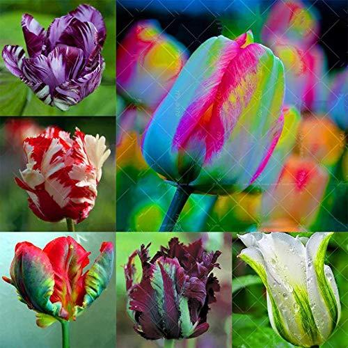 Soteer Garten- Tulpenzwiebeln Samen Tulpenmischung Blumenpflanze Bonsai Saatgut verschönert winterhart mehrjährig duftend (10 Korn)