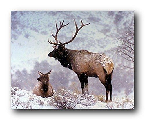 Wall Decor Large Bull Elk in Snow Alan Carey Wild Animal Art Print Poster (16x20)
