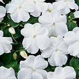 Blanc Impatiens Graines, Graines Impatiens, non Ogm Heirloom annuelle Fleur, 50ct