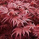 Acer Palmatum 'Bloodgood'- Érable du Japon 'Bloodgood' 50-60 cm en conteneur