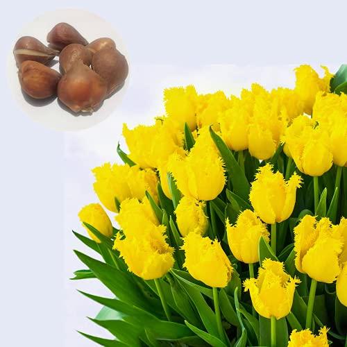 CHTING 5 bombillas de tulipán elegantes y raros con bordes crudos, fuerte adaptabilidad plantación simple tiene alto valor ornamental