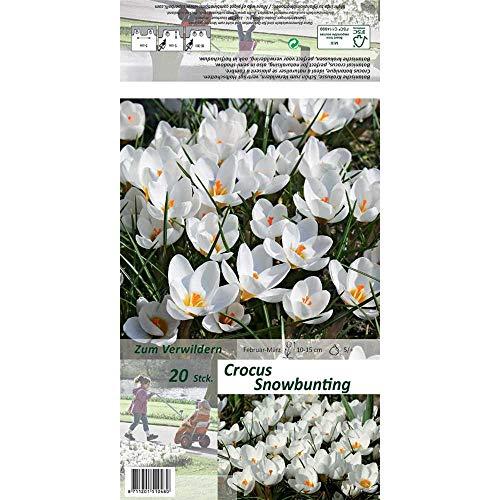 Florado 20x Kleiner Garten-Krokus Blumenzwiebeln `Snow Bunting`, Krokusse Zwiebelblumen, Garten, Schnittblumen, Bienen Insekten, Größe 5/+