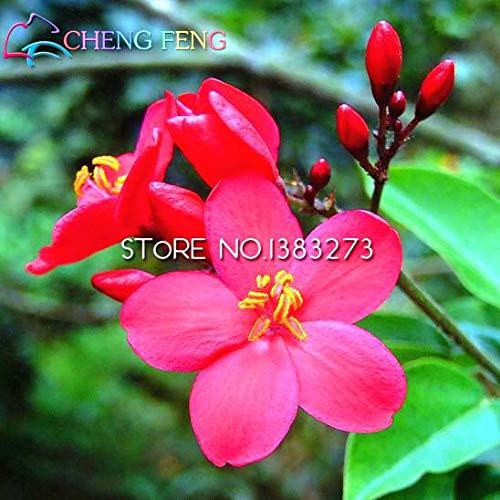 Green Seeds Co. 2016 Jatropha Bonsaï 30 Pcs Maison Bonsaï Sementes Bonsaï Jardin Bonsaï Arbre Un Rare Japonais Plantes En Pot Maison Mini Plante: Violet