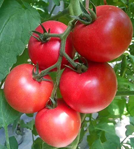 500 Unbegrenztes Wachstum und hohe Ausbeute Große rosa Frucht Hartfrucht Tomatensamen-Rosa Schönheit