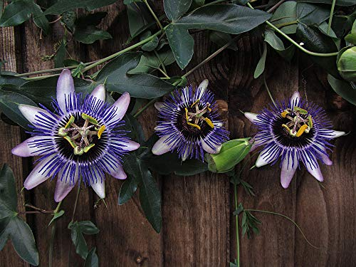 Portal Cool Passiflora Samen - Dumme Kuh - Kletterpflanze Tropical - Hybrid - 10 Samen