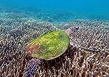 CALVENDO Meeresschildkröte am Great Barrier Reef, Poster