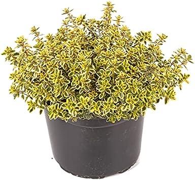 Tomillo Limón o Tomillo Limonero Planta Aromática Natural Tomillo Aroma Limón