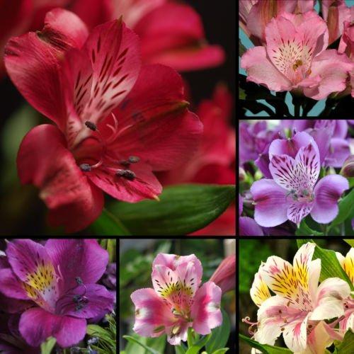 ALSTROEMERIA Samen Mix peruanischen Lily Blume Lilie Samen Garten Dekoration Pflanzen 20Stück AA