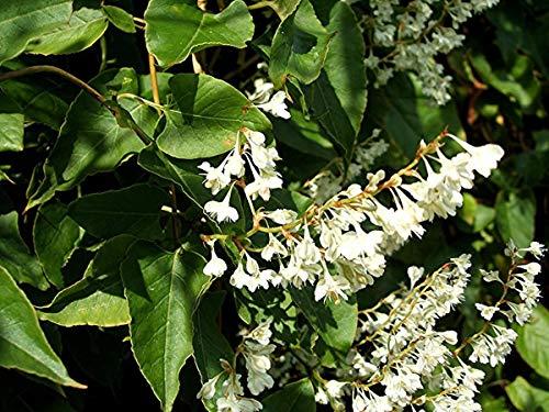 Fallopia (Polygonum) baldschuanica - Russian Vine, Mile a Minute Vine, 3 Plants in 9 cm Pots