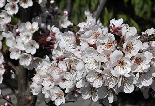 Prunus Trailblazer - Zierpflaume - Blutpflaume