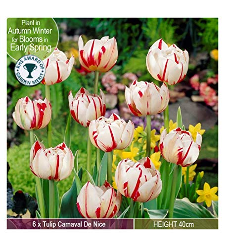 6 X Tulip Carnaval De Nice – Huge Double Blooms of White and Red – RHS Award Winner - Spring Flowering Bulbs - for a Beautiful Garden