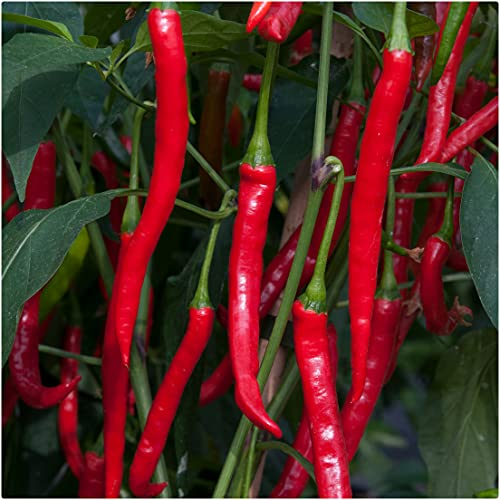 Chilli Pepper F1 'Curry Chilli' x 3 Plug Plants for Potting on by Growtanical