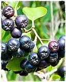 Planta de Aronia Melanocarpa a bayas negras en maceta, diámetro 19 cm, altura 100 cm