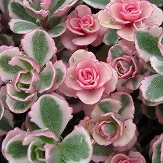 Tricolor Sedum Spurium Succulent in 2 inch Pot - Variegated Stonecrop Succulents
