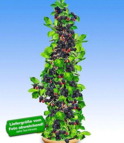 BALDUR-Garten Säulen-Brombeeren Navaho® 'Big&Early' dornenlos, 2 Pflanzen Rubus fruticosa Säulenobst Beerenobst Brombeerpflanze