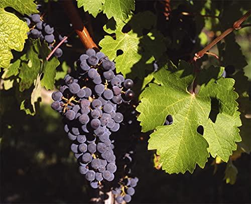 SVI 20 semillas de frutas Vitis vinifera.