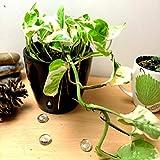 Easy Plants® Devil's Ivy Golden Pothos Ivy Arum Plante d'intérieur dans un pot tubus haut en céramique noir