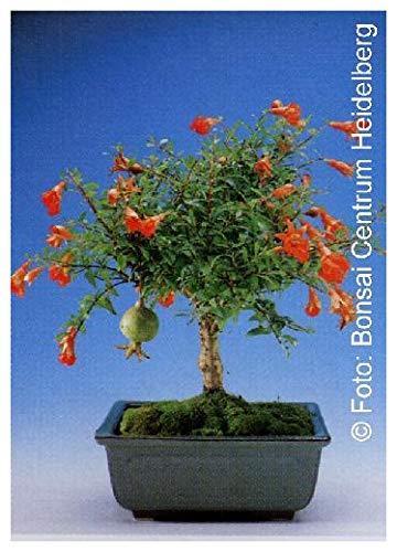 Tropica - Bonsai - Granado enano (Punica granatum nana) - 50 Semillas
