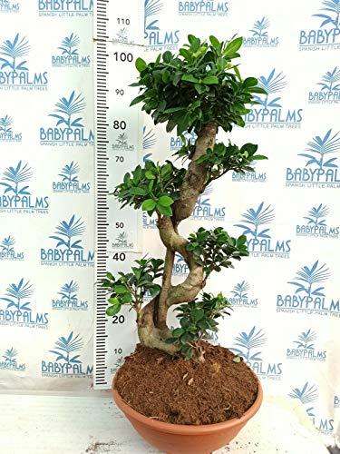 Ficus Ginseng bonsai 80-90 cm en maceta 30 cm