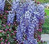 1 Live Plant Blue Moon Wisteria Vine Plant 6-10