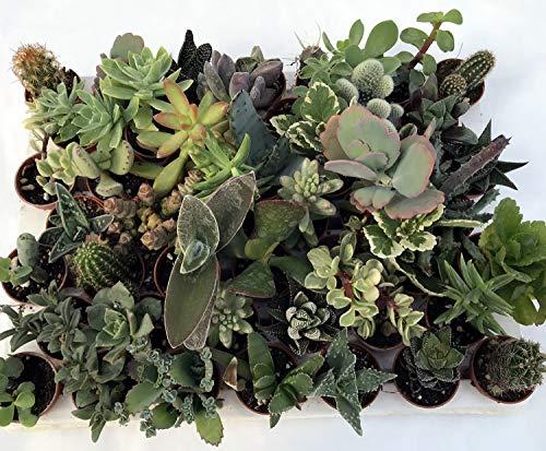 51zb 15j0TL - Piante Succulente o Grasse: che tipo di piante sono?