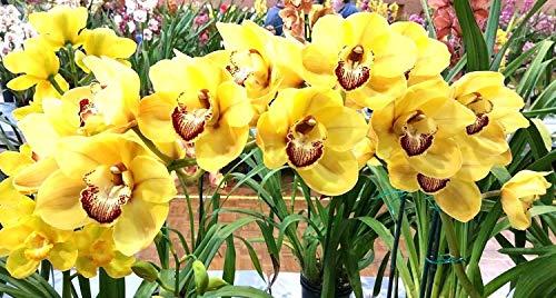 ScoutSeed COMPRE 3 OBTENGA 2 orquídeas Cymbidium GRATIS, Cymbidiums africanas SEMILLAS 100pcs...