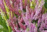 Calluna vulgaris 200 Samenm Besenheide/Heidekraut MIschung - Staude