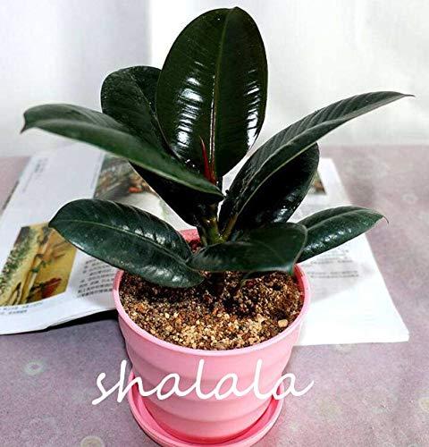 """Kalash Nuevas 50 PC Ficus elastica""""Decora"""" semillas de plantas para jardinería verde 1"""