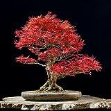 Hoja de encaje rojo japonés semillas de arce, Acer palmatum atropurpureum Dissectum Bonsai