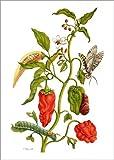 Poster 30 x 40 cm: Paprika und Schwärmer von Maria Sibylla